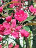 Perzik-boom die in de lente bloeien stock afbeelding