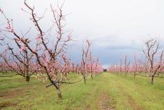 Perzik in de lente Royalty-vrije Stock Afbeeldingen