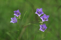 Perzik-leaved Bellflower Stock Foto