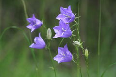 Perzik-leaved Bellflower Royalty-vrije Stock Foto