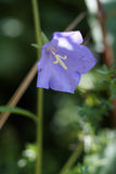 Perzik-leaved bellflower (Klokjepersicifolia) Royalty-vrije Stock Afbeeldingen