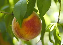 Perzik op een boom Royalty-vrije Stock Afbeelding