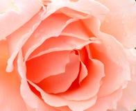 Perzik Rose Wallpaper Royalty-vrije Stock Afbeelding