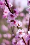 Perzikbloemen stock afbeeldingen