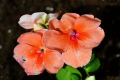 Perzikbloemen Stock Foto's