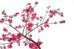 Perzikbloemen Stock Afbeelding