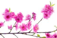 Perzikbloemen Royalty-vrije Stock Afbeelding