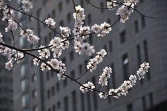 Perzikbloesem in volledige bloei Stock Foto's