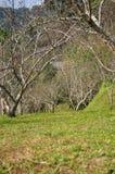 Perzikbomen Stock Afbeeldingen
