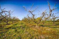 Perzikbomen in bloei die met fungicide wordt behandeld royalty-vrije stock foto's