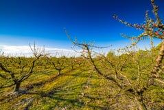 Perzikbomen in bloei die met fungicide wordt behandeld royalty-vrije stock foto