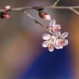 Perzikbomen in bloesem Stock Afbeelding