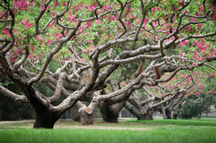 Perzikbomen in de lente stock fotografie