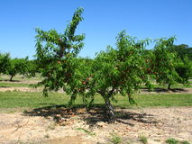 Perzikboom in een Boomgaard royalty-vrije stock foto's