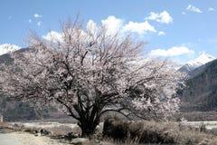 Perzikboom en sneeuwberg Stock Fotografie