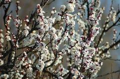 Perzikboombloem in de lente stock afbeelding
