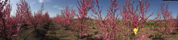 perzikboomgaard Royalty-vrije Stock Afbeeldingen