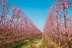 Perziken in bloembloei Stock Foto's