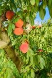 Perziken op de boomtakken Royalty-vrije Stock Afbeelding