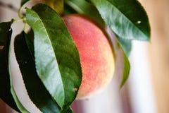 Perziken op een boom met de bladeren in de tuin royalty-vrije stock foto's