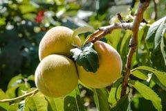 Perziken op een Tak van de Boom Stock Fotografie