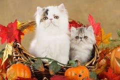 Perzisch katje in dalingsdecoratie stock foto's