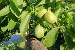 Perzisch Okkernootboom en Fruit Royalty-vrije Stock Afbeelding