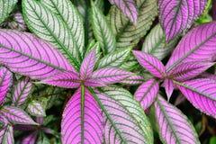Perzische acanthaceae van schild strobilanthes dyeranus Royalty-vrije Stock Foto