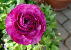 Perzische Boterbloemenbloem royalty-vrije stock afbeelding