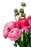 Perzische boterbloemenbloemen (ranunculus) royalty-vrije stock foto