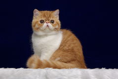 Perzische Gestreepte kat op Blauw Stock Fotografie