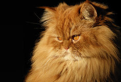 Perzische kat Royalty-vrije Stock Afbeeldingen