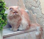 Perzische kat Royalty-vrije Stock Afbeelding