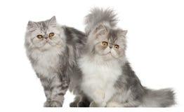 Perzische kat, 7 maanden oud, Stock Fotografie
