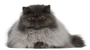 Perzische kat, 8 maanden oud, het liggen Royalty-vrije Stock Foto's