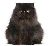 Perzische kat, 9 maanden oud stock foto