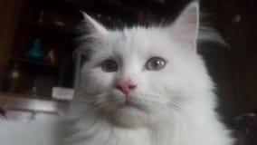 Perzische kat stock foto's