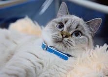 Perzische kat blauwe kleur Stock Afbeelding