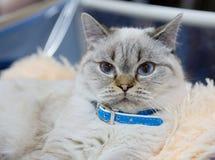 Perzische kat blauwe kleur Royalty-vrije Stock Afbeelding