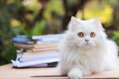 Perzische kat die camera op houten lijst bekijken, bokeh Stock Afbeelding