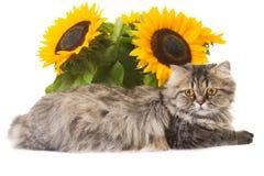 Perzische kat die met zonnebloemen ligt Stock Foto