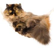Perzische kat die in minihangmat ligt Stock Foto's