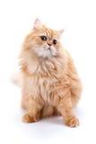 Perzische kat op een witte achtergrond Stock Afbeelding