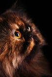 Perzische kat in schildpadkleuren royalty-vrije stock foto