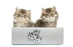 Perzische katjes die in een zilveren huidige doos zitten, Stock Afbeeldingen