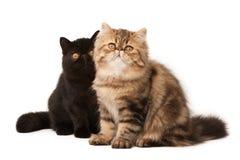 Perzische katten Royalty-vrije Stock Foto's