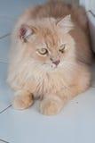 Perzische katten Royalty-vrije Stock Foto