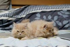 Perzische katten leuk brunette Royalty-vrije Stock Foto's