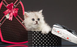 Perzische pussy kat Royalty-vrije Stock Foto's