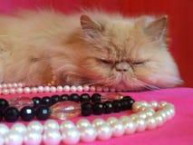 Perzische volwassen kat Royalty-vrije Stock Afbeeldingen